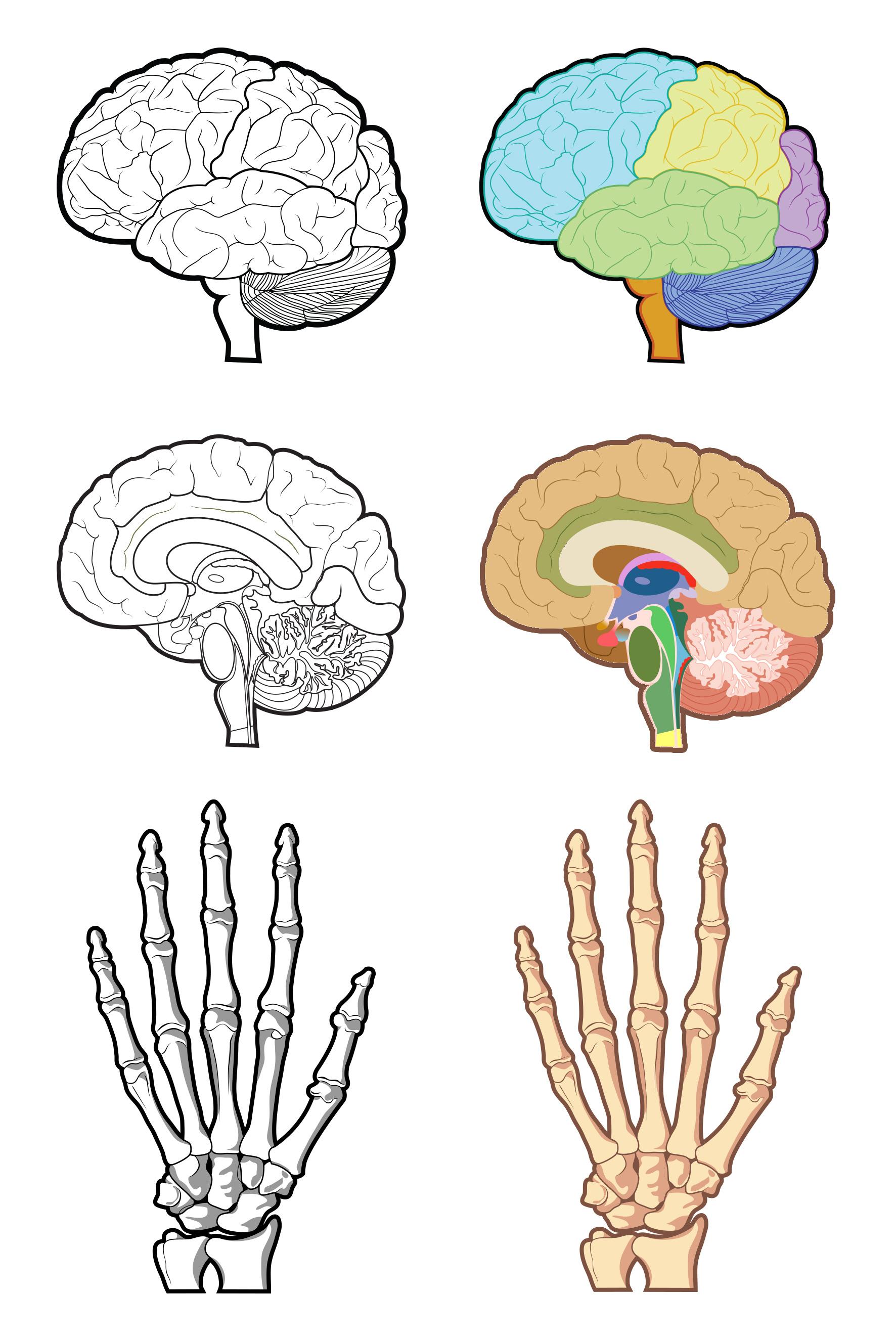 anatomicalgraphics